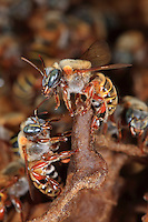 Two beecheii bees cling to a wax surface.