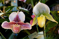 NWA Democrat-Gazette/DAVID GOTTSCHALK A pair of orchids on display Friday, March 2, 2018,  in the event center at the 8th annual Orchid Show and Sale at the Botanical Garden of the Ozarks in Fayetteville. Co-sponsored by the Orchid Society of the Ozarks and the Botanical Garden of the Ozarks, The indoor show began Friday and runs through Sunday featuring displays from different orchid societies, care mini-classes, a plant sale and a competition.