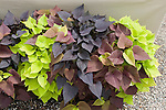Mix of 'Sweet Heart' Red, Purple, and Light Green Ornamental Sweet Potato, Ipomoea hybrid