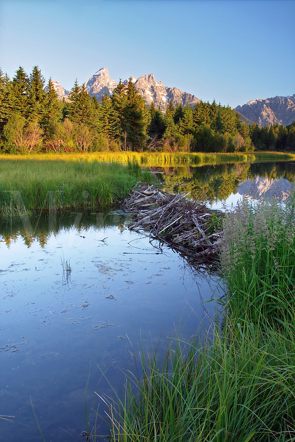 Beaver dam below Teton Mountains in backwaters of the Snake River at sunrise, Schwabacher Landing, Grand Teton National Park, Teton County, Wyoming, USA