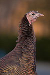 Portrait of Wild Turkey on Staten Island at sunset. Many live near a hospital on the Island's South Shore.