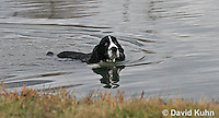 1219-0901  English Springer Spaniel Swimming in Pond, Canis lupus familiaris  © David Kuhn/Dwight Kuhn Photography