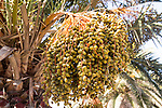 Close up dates growing date palm tree 'Phoenix dactylifera', Lanzarote, Canary Islands, Spain