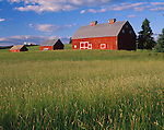 Latah County, ID:  Evening light on a red gambrel roofed barn and two accompanying out buildings, near Potlatch