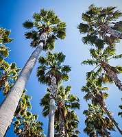 Palm trees climb high and spread their green fronds into a clear blue sky  at Jack London Square in Oakland, California.