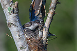 Eastern kingbird - parent holding fecal sack