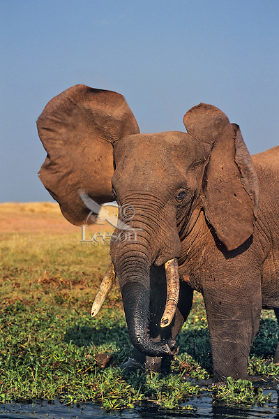 African Elephant along shore of Lake Kariba, Zimbabwe.