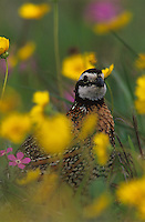 Northern Bobwhite, Colinus virginianus,male in wildflowers, Lake Corpus Christi, Texas, USA