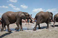 Elephants of the Hungarian National Circus take a bath at lake Balaton promoting the Circus Night event at Balatonlelle (about 140 km South-West of capital city Budapest), Hungary on July 14, 2018. ATTILA VOLGYI