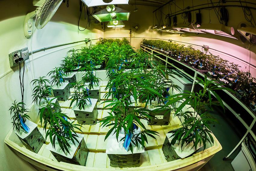 Young marijuana plants (sativa), Sticky Buds, Denver, Colorado USA.