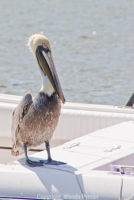 The Brown Pelican is on the endangered list, except in Florida.