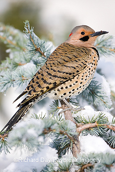 01193-014.11 Northern Flicker (Colaptes auratus) male on Blue Atlas Cedar (Cedrus atlantica 'Glauca') in winter Marion Co.  IL