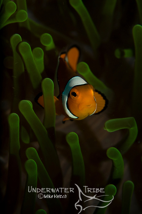 False clown anemonefish, Amphiprion ocellaris, Lembeh Strait, Bitung, Manado, North Sulawesi, Indonesia, Pacific Ocean