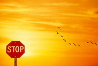 Migrating Canada geese flying over Stop sign at sunset