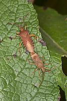 Braune Randwanze, Hasel-Randwanze, Haselrandwanze, Kopulation, Kopula, Paarung, Gonocerus acuteangulatus, Box Bug
