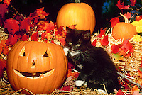 Black kitten with white paws plays on a hay bale near a jack o lantern for holloween