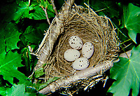 Pirol, Eier, Ei, Gelege, Nest, Oriolus oriolus, golden oriole, Eurasian golden oriole, nest, egg, eggs, Le Loriot d'Europe