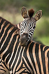 Plains zebra, Equus burchelli, resting head on zebra in Kruger National park, Mpumalanga, South  Africa