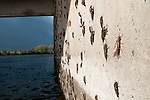 Salmon flies (a.k.a., stone flies) hatch on a bridge piling on the Henry's Fork (a.k.a., North Fork) of the Snake River, Idaho.