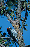 Acorn Woodpecker, Melanerpes formicivorus, adult at sap well, Madera Canyon, Arizona, USA, January 1995