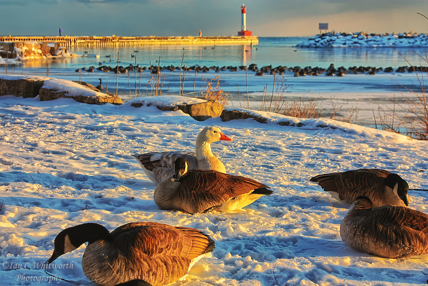Winter time geese and ducks gather by the lighthouse pier in Oakville, Ontario