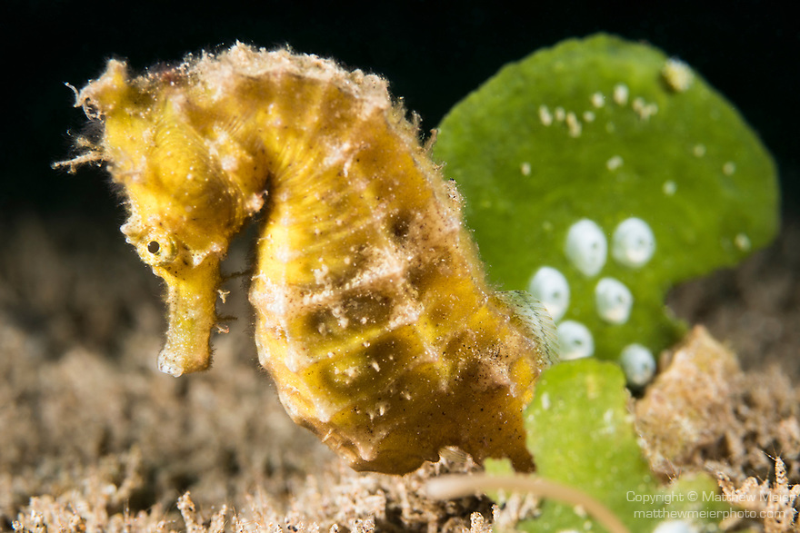 Dumaguete, Dauin, Negros Oriental, Philippines; a yellow seahorse next to green algae on the sandy bottom