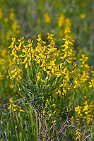 Deutscher Ginster, Genista germanica, Genista villosa, Cytisus germanicus, German Greenweed, German Broom, Le genêt d'Allemagne