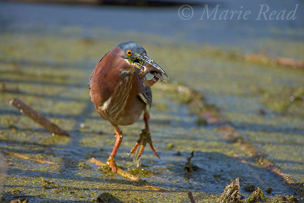 Green Heron (Butorides virescens) with a fish, Montezuma National Wildlife Refuge, New York, USA