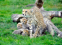 Whipsnade, Bedfordshire -  Baby Cheetah cubs make their debut at ZSL Whipsnade Zoo, Bedfordshire - August 29th 2012..Photo by Ross Stratton