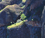 USA, California, Pinnacles National Monument.  A tree on a ledge on a cliff. Credit as: Christopher Talbot Frank