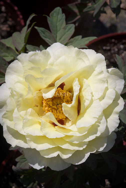 Paeonia suffruticosa 'Kinkaku' yellow flowered peony with red center, tree peony that blooms in late spring May or early summer June, fragrant flowers