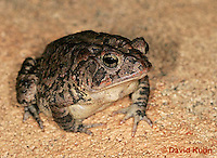 1108-0801  Southern Toad, Anaxyrus terrestris, formerly Bufo terrestris © David Kuhn/Dwight Kuhn Photography.