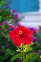 Hibiscus, Hopetown, Bahamas