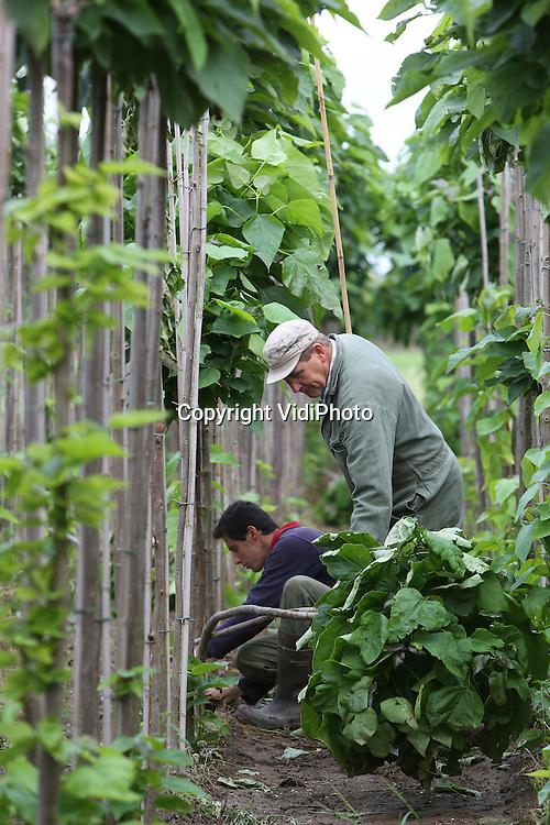 Foto: VidiPhoto<br /> <br /> DODEWAARD - De boomkwekers Ruth senior en Marinus Verwoert zijn maandag druk met het herstellen van de stormschade. De storm van zaterdag heeft bij boomkwekers door het hele land de nodige schade veroorzaakt, vooral bij percelen zonder windvang. Veel laanbomen zijn omgewaaid, geknakt of hebben hun toppen verloren. De laatste keer dat boomkwekers in de zomer te maken hadden met natuurgeweld was in 2008, toe enorme hagelstenen veel bomen vernielden. Doordat de bomen volop blad dragen, heeft de storm op diverse plekken ook nu een enorme ravage achtergelaten. De schade bij boomkwekers wordt mede veroorzaakt door de slechte kwaliteit tonkinstokken (soort bamboe) die als steun dienen voor de bomen. Ieder jaar worden miljoen stokken ge&iuml;mporteerd uit China. Door de enorme vraag wordt het groeiproces van de stokken versneld, waardoor de kwaliteit afneemt. Dat breekt boomkwekers nu op. Veel tonkinstokken zijn bovendien gebroken.
