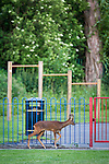 "© Joel Goodman - 07973 332324 . Stockport , UK . The deer walks beside playground railings . A wild deer which was discovered in a park by the busy Manchester Road in Stockport has been rescued after three days . The park was closed and locked by Stockport Council officials on Monday 24th June after the young male started bolting across the playing field and playground and butting its head and antlers against railings . But with the gates locked , the young animal could not escape . For three days local people came out to watch the deer from the fence as it hid in bushes around the edge of the park , occasionally venturing out across the playing pitch and in the direction of the busy A626 road . The landlord at "" The Hind's Head "" pub opposite , Stuart Kirkham , a Manchester United fan , named the beast "" Ronaldo "" because of its red colouring . After three days , with no hope of escape under its own steam and with the park still closed , the RSPCA and council brought in a veterinary surgeon to help . The animal was tranquilised and driven to nearby Reddish Vale Country Park , where he was brought round and released back in to the wild . Photo credit : Joel Goodman"