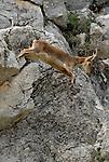 Spanish Ibex ( capra pyrenaica ) jumping down rock face.Sierra Crerstallina, Casares,Andalucia,Spain