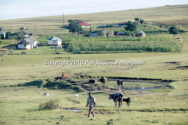 QUNU,SOUTH AFRICA - APRIL 2: A cattle farmer walks with his cattlein the village of Qunu, where Nelson Mandela grew upon April 2, 2010, in Qunu, South Africa. Mr. Mandela was born in Mvezo, about 32 kilometers from here and Qunu and its surroundings is the area where he learned about life including his traditional manhood ceremony. Mr. Mandela was born in 1918, he served as a president of South Africa from 1994-1999, when he retired. Before that he was the leader of the armed wing of ANC and was convicted of sabotage among other crimes and served 27 years in prison, many of them on Robben Island, outside Cape Town. Qunu has a museum and Mr. Mandela has a big house where he and his family spends time while in the area. (Photo by Per-Anders Pettersson)