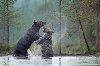 Eurasian Brown bears fighting, Ursus arctos, Kuikka, Kuhmo, Finland