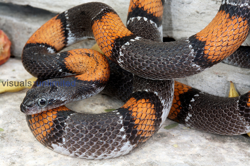A Gray-banded Kingsnake from Terrell County, TX....dark phase male