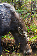 Moose on the side of the Kancamagus Highway (route 112) in the White Mountains, New Hampshire USA during the spring months.