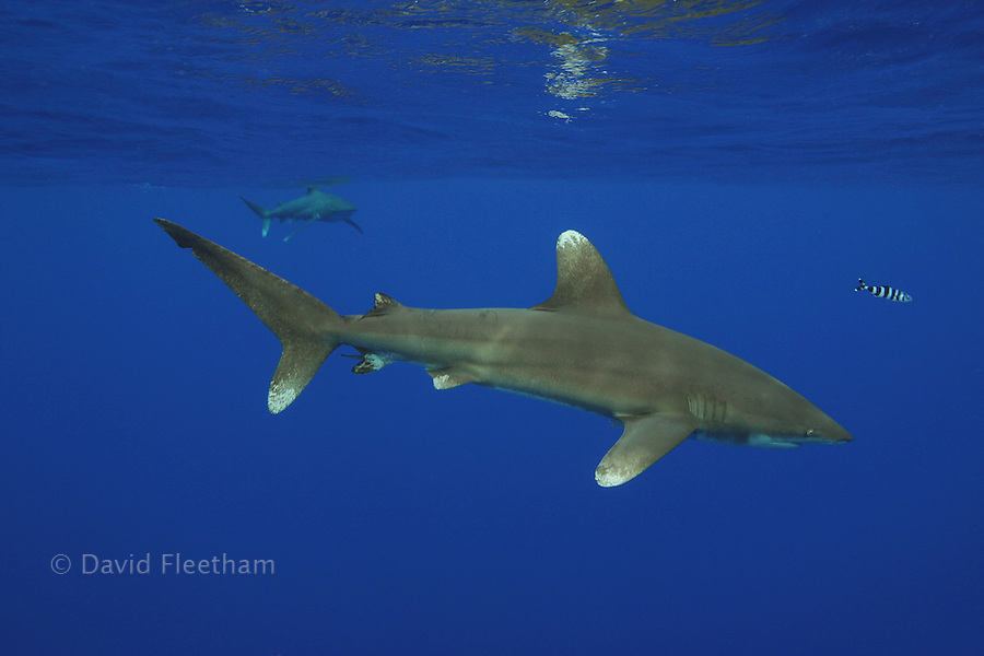 A small pilot fish swims with this oceanic whitetip shark [Carcharhinus longimanus] several miles off the Big Island.  This species is consider highly dangerous.  Hawaii.