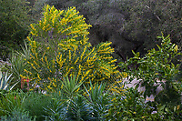 Acacia longifolia Golden Wattle shrub, flowering in Debra Lee Baldwin garden