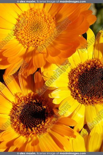 Orange daisy wild flowers artistic background