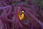Clown fish in purple anemone