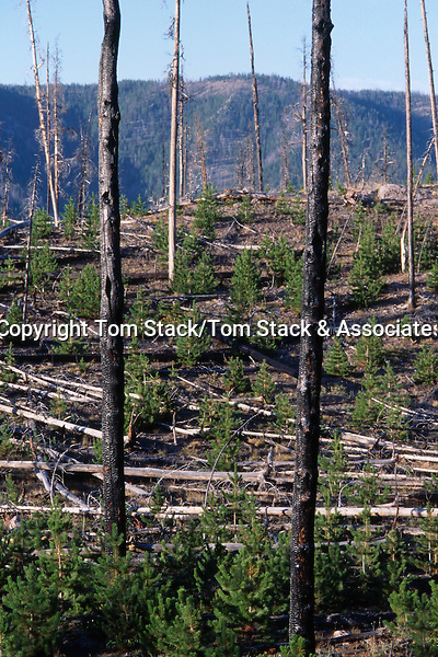 Yellowstone National Park, regrowth 9 years after the fire.  Photo taken in  1997