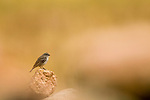 Plumbeous Sierra-Finch (Phrygilus unicolor) female, Ciudad de Piedra, Andes, western Bolivia