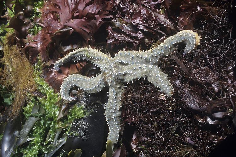 Spiny Starfish - Marthasterias glacialis