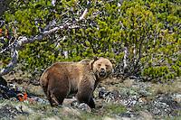 Grizzly Bear (Ursus arctos). Rocky Mountains, U.S., summer.