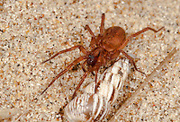 Agroeca inopina, Liocranidae. Female. Ground living nocturnal hunting spider. Warm, dry places eg dunes amongst litter.