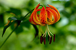 July 2009:  A Turk's Cap Lily found along a trail in Pisgah National Forest, Brevard, North Carolina.